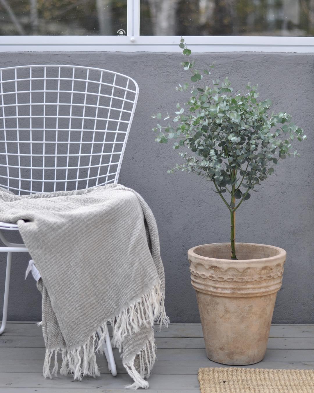 Eukalyptus p stam! greenhouse